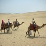 Pyramids of Giza camels