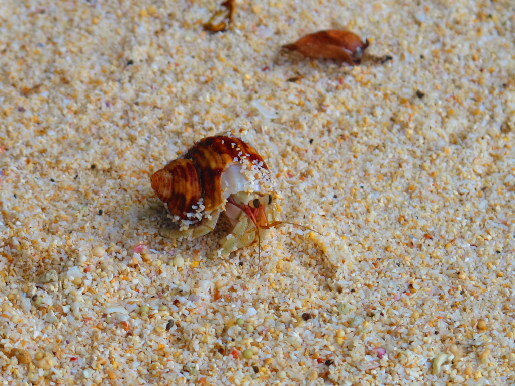Malang Beach crab