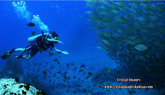 top Koh Tao dive site, Chumphon school of fish